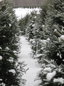 Cover photo for Locally Mountain Grown Fraser Fir Christmas Trees
