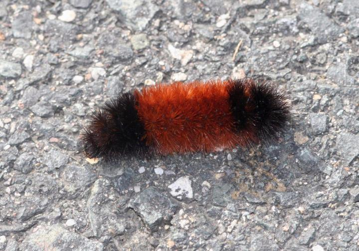 Image of wooly worm