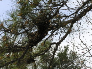 bees swarming in tree tops