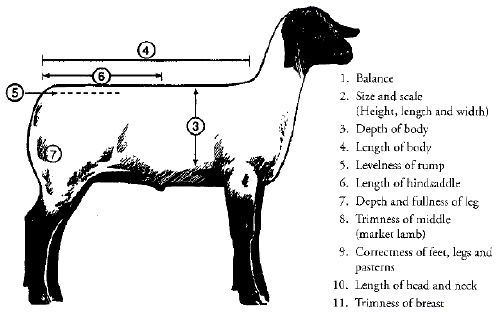 Diagram of a Market Lamb