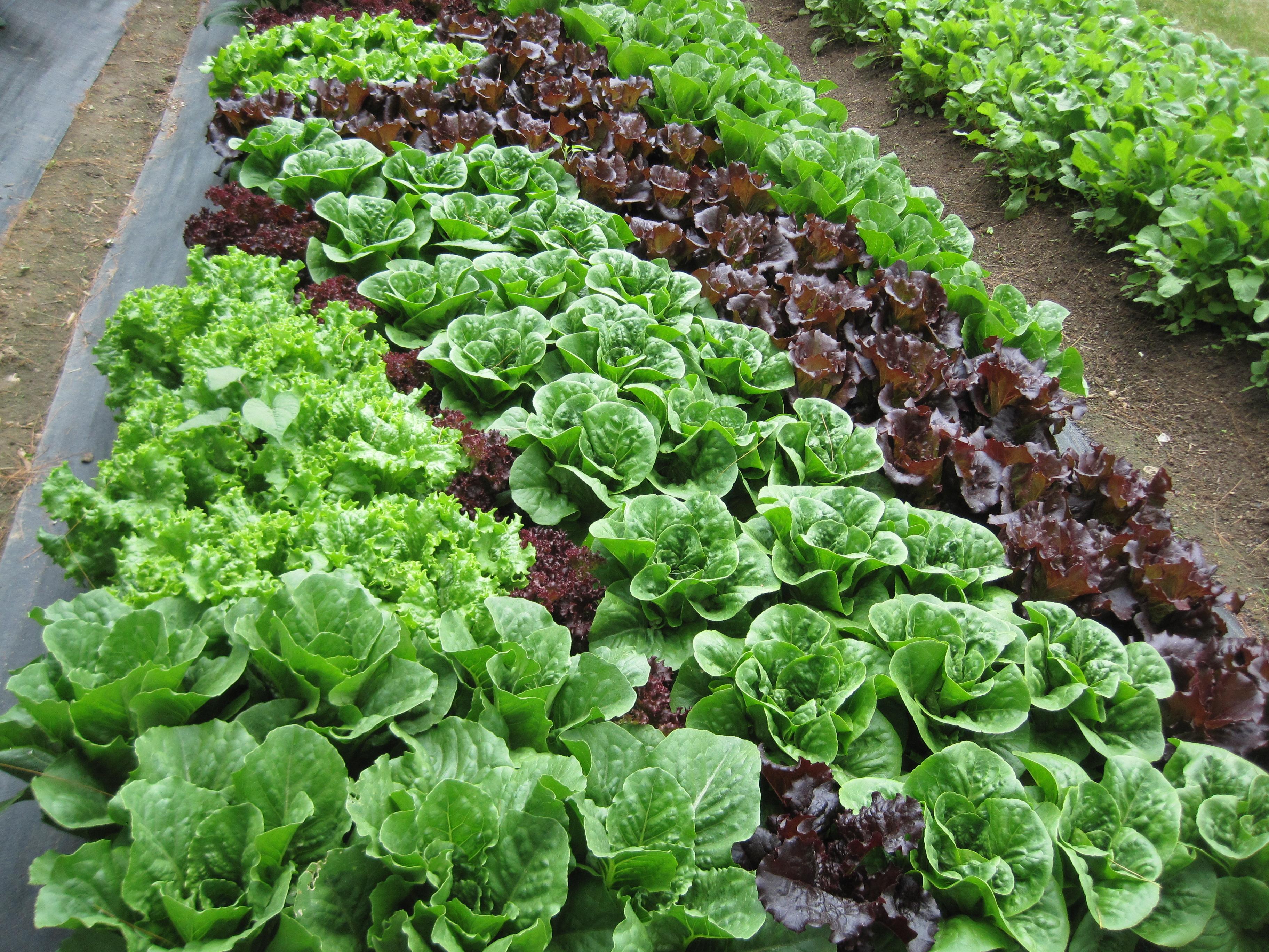 Image of lettuce
