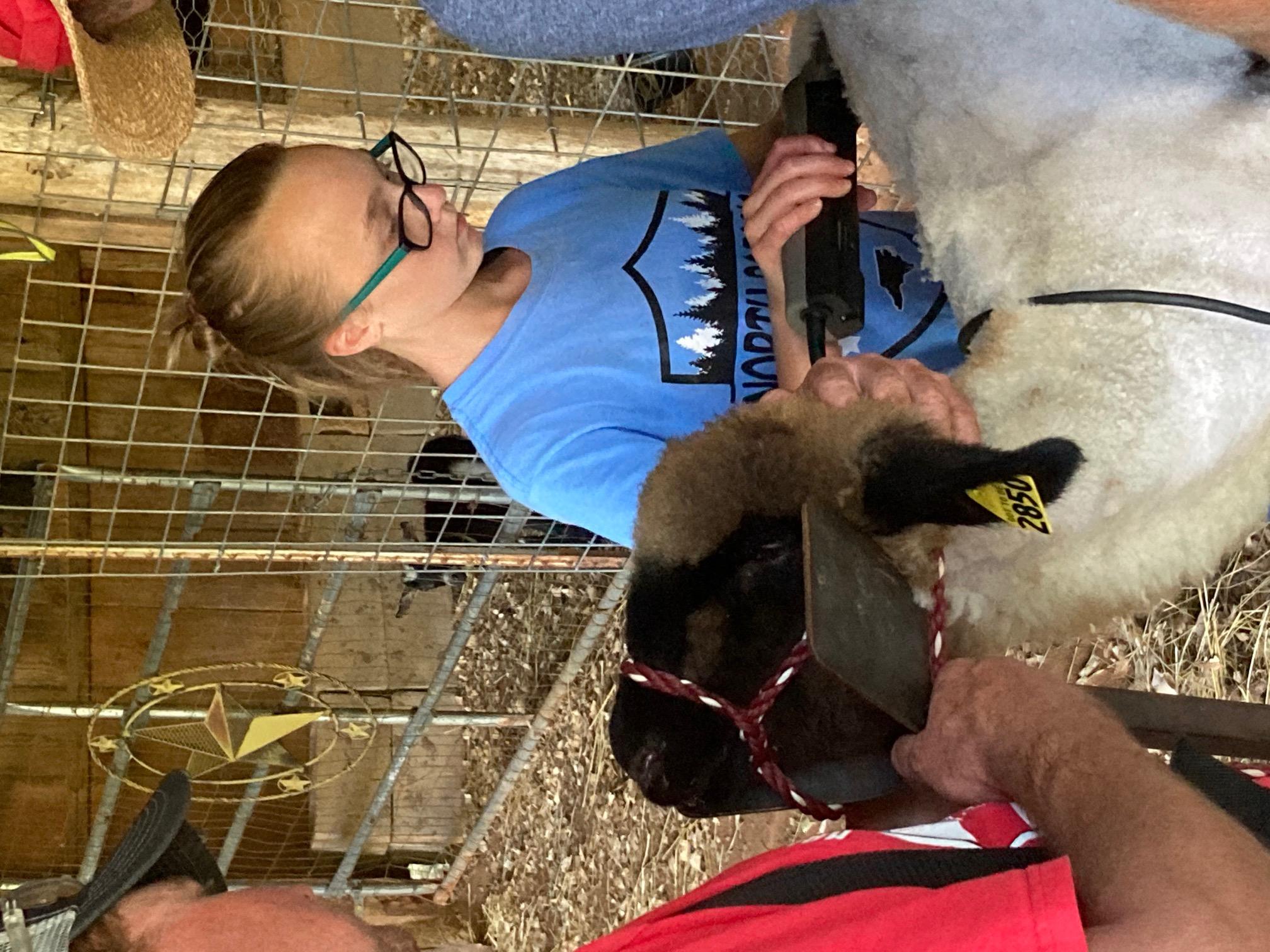 Shearing a lamb