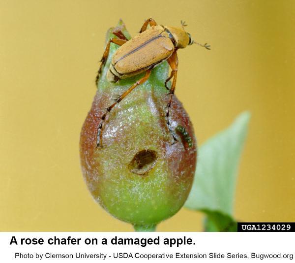 rose chafer