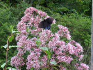 Joe Pye Weed and a butterfly
