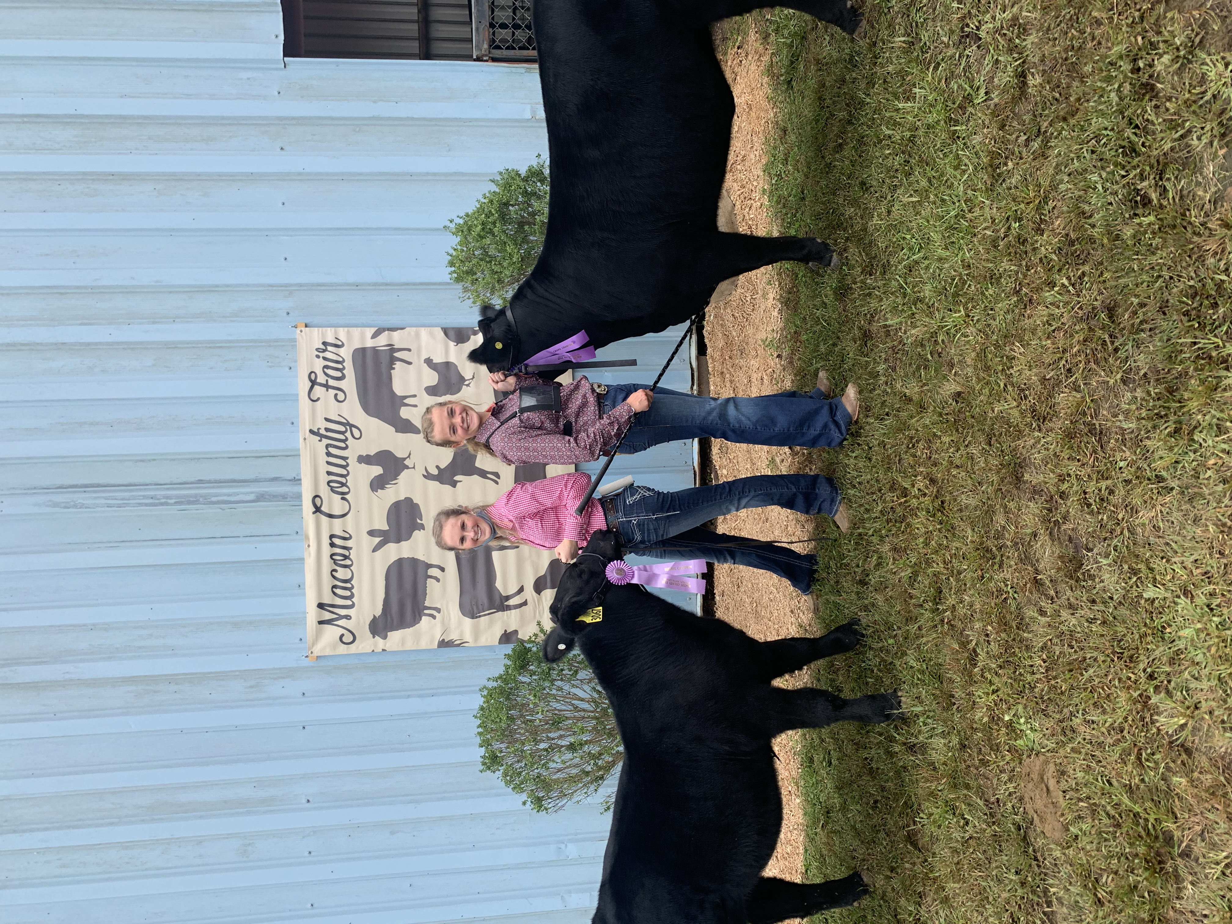 livestock show cattle