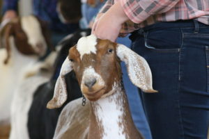 Cover photo for Youth Livestock Show