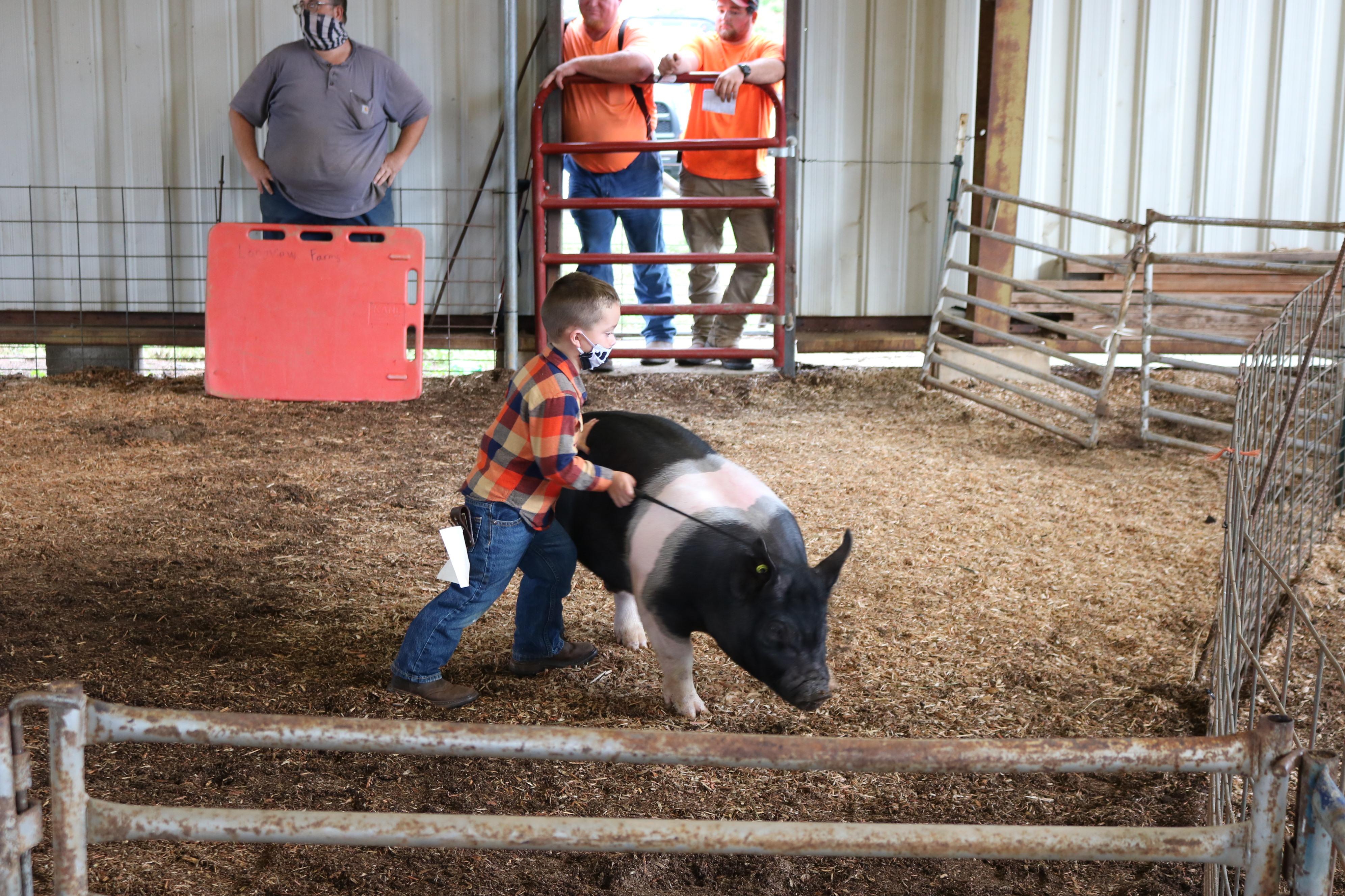 Livestock Show Hogs