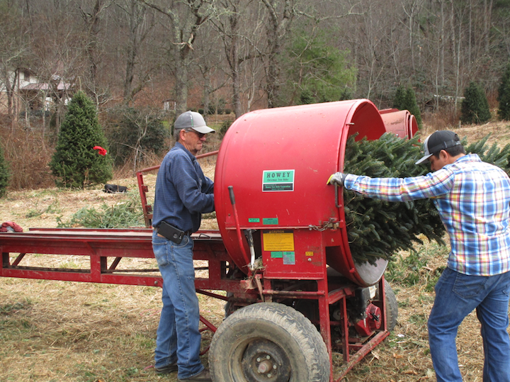 Baling Fraser fir Christmas Tree
