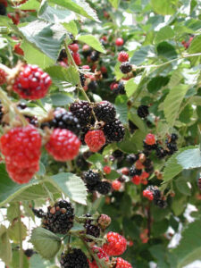 Cover photo for Blackberries and Raspberries: How to Create and Care for Your Caneberry Patch
