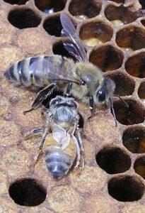 Hone Bees